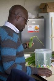 Kenn füttert die Schädlinge mit Maisblättern.